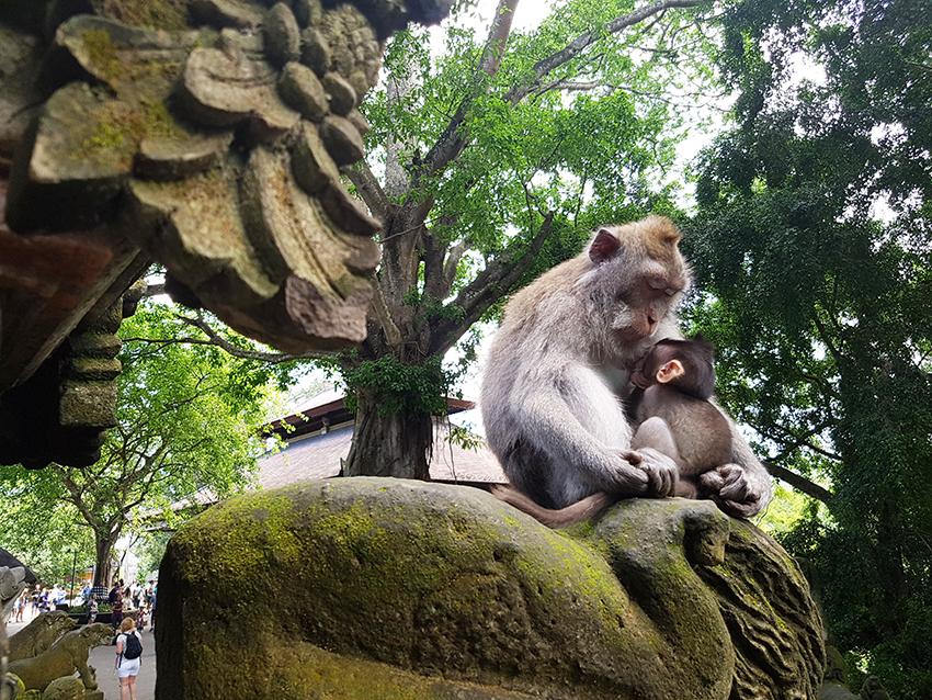 monkey_forest_bali_scimmie